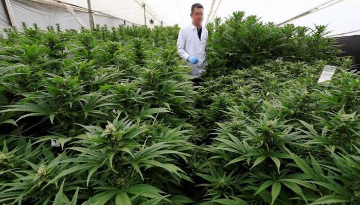 colombia-exporta-muestra-de-marihuana-medicinal-a-alemania